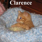 Clarence and Cornelius were adopted from their foster home on 7/17/06.  They were lucky enough to be adopted by Tanglewilde Veterinary Hospital.