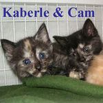 Kaberle & Cam were adopted together from CHAC on 7/16/06. These girls are the perfect mix of cute kitten love and rollicking, frolicking, fun.