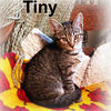 Tiny adopted from PetsMart on 10/1/06. This sweet brown tabby is small in size but big in heart. Bolder than her bigger brothers, she's the first to greet you and invite you to love her. Tiny is everything a kitten should be: playful, active, and affectionate.