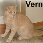 Vern adopted from CHAC on 6/10/07. Vern is a lovebug. He's a little shy at first but warms up quickly to anyone that extends their paw in friendship. Vern plays enthusiastically and will do well with a family that enjoys active cats.