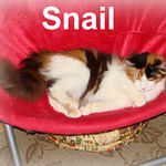 Snail adopted from CHAC on 6/1/07. Snail earned her name because of the shape of her claws.  They grew so long that they curled around on themselves cutting into her paws.  Snail is a young, playful girl that needs a special indoor-only home.  She's filled with pure pluck and if you have a sense of humor, you'll get a kick out of Snail's antics.