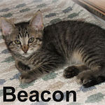 Beacon was adopted out of his foster home (with Calder) on 6/09/07. Beacon is an easy going, mellow kitten. He's very affectionate and loves to cuddle. Beacon is much more interested in your affection than anything else.
