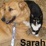 Sarah adopted from CHAC on 6/10/07. Sarah is a very social girl that appreciates good fellowship, including the company of cat-friendly dogs.  She's also a great conversationalist adhering to the motto... If at first you don't succeed, meow again!  (The dog isn't available for adoption)