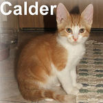 Calder was adopted out of his foster home (with Beacon) on 6/9/07. Calder is sweet, very playful, and curious about other cats. Adopt him with another kitten and they'll keep each other entertained.
