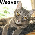 Weaver was adopted from the Cat House and Adoption Center on Sunday, September 9, 2007  Weaver is a very youthful and handsome Blue Tabby with an outgoing disposition and lots of charisma. If you've been looking for love in all the wrong places, adopt Weaver. His excellent companionship will fill your heart and home with love.