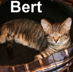 Bert and Owen were adopted from their foster home on Monday, September 10, 2007.  This little darling may be camera shy but that's all he's shy about. Bert loves to cuddle and isn't afraid to insist you give him a sufficient amount of lovin' time.
