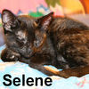 Selene was adopted from the Cat House & Adoption Center on Saturday, 9-15-07  Tortoiseshell cats are typically playful and independent.  Selene is no exception.  When she's not independently playing, Selene can be found sleeping in a nice comfy lap.  If you like Selene, prepare yourself to give her ample lap time.