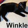 Winkle was adopted from the Cat House and Adoption Center on Saturday, February 16, 2008. Winkle has the troublesome habit of spontaneously bursting into purr for no reason at all. If you're looking for the perfect purring companion, come to the Cat House and meet Winkle.