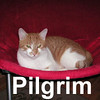 Pilgrim was adopted from the Cat House and Adoption Center on Sunday, January 20, 2008.  Pilgrim is so grateful the Thanksgiving Holiday is over ... Everyone needs to rest up after all the preparations for a grand Holiday Feast. Pilgrim is a very sweet and social boy that will just lap up all the love you can give him. He's still young and acts like an oversized kitten.