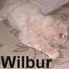 Wilbur was adopted from the Cat House and Adoption Center on Saturday, Janurary 12, 2008.  Wilbur is an even tempered cat with a high maintenance coat.  Not letting the cold, wet, December storm get him down, this homeless fellow found refuge with a family that had the heart and resources to get Wilbur to Feline Friends.
