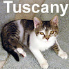 Tuscany was adopted from her foster home on Saturday, January 19, 2008.  Like most cats, Tuscany doesn't like change and needs a patient home that will allow her extra time to adjust. She's extremely affectionate once she gets to know you and will be your devoted companion.