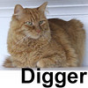 Digger was adopted from the Cat House and Adoption Center on Saturday, January 5, 2007.  Handsome in his sunburst colored coat, Digger is social and thrives on human companionship.  He's ok with other cats but prefers not to socialize with dogs. Digger is front paw declawed and needs the safety of an indoor-only home.