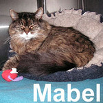 Mabel was adopted from the Cat House and Adoption Center on Saturday, January 26, 2008.  Getting old isn't for sissies. Mabel can attest to that. At approximately 17 years of age, she was dumped at a veterinary hospital to be euthanized. Mabel's health is fine and she doesn't appear to have any issues indicating her quality of life has diminished or she's suffering from old-age related pains.  She's sweet, loving, and social.   Mabel needs lots of love, a warm lap, and a gentle hand. Her front paws have been declawed so an indoor only home is required.