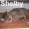 "Celebration Shelby was adopted from the Cat House and Adoption Center on Saturday, January 19, 2008.  While the World celebrated New Year's Eve, ""Celebration Shelby"" had her own party. She came to us on New Year's Eve and the merriment began: meals were served, clean water flowed freely and everyone had their own bed to ring in the New Year.  Shelby is a beautiful Ticked Brown Tabby that's ready for you to adopt her and have your own little Celebration."