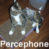 Percephone (recovering well from her broken leg) was adopted from the Cat House and Adoption Center on Wednesday, July 9, 2008.