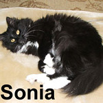 Sonia was adopted from the Cat House and Adoption Center on Saturday, June 21, 2008. Pretty and petite Sonia is very sweet.  The vet suspects Sonia has spinal bifida.  Her condition is stable and she hasn't needed any special routine care or medications.  Sonia has a fluid bubble above the base of her tail and some curvature to her spine so she needs a quiet indoor only home.