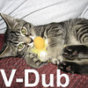 V-Dub and Mercedes were adopted from the Cat House and Adoption Center on Saturday, June 28, 2008.  V-Dub is a compact package of paradox.  He's snuggly one minute, and indignant the next.  V-Dub's eyes are slightly crossed and he seems to have vision problems. Dubba's unpredictable antics may stem from his impaired vision.
