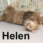 Helen was adopted from the Cat House and Adoption Center on Sunday, October 5th, 2008. Now that her kittens have grown, this gorgeous girl is taking time for herself. Helen knows how to get what she wants and will charmingly coax you into submitting to her will.
