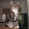 Breanna was adopted from our Cat House and Adoption Center on Saturday, October 11, 2008. Breanna is a young lady that knows what she wants and makes no bones about going for it. She has beauty and brains mixed with a little sweet tenderness.