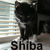Shiba, Suchotash, and Baker were adopted from the Cat House and Adoption Center on Saturday, October 4, 2008.