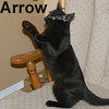 Arrow was adopted with his sister, Bow, from the Cat House and Adoption Center on Sunday, February 8, 2009.