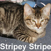 Stripey Stripe and Little Sister (siblings) were adopted from the Cat House and Adoption Center on Saturday, January 17, 2009.