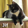 Jif was adopted from his foster home on Tuesday, April 23, 2013.<br /> <br /> Jif<br /> <br /> Choosy mothers choose Jif!<br /> <br /> Jif is a big and gentle soul and not sure about living with a rescued group of cats although he is secretly doing very well. He would love a quiet home and a lap to lounge on.