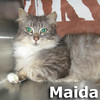 Maida was adopted from the Cat House and Adoption Center on Saturday, June 1, 2013.<br /> <br /> Maida<br /> <br /> She made it!<br /> <br /> Maida isn't quite sure how to respond to the new surroundings, although love is appreciated. She was rescued from a hoarder and is making great strides.