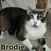 Brodie was adopted from the Cat House and Adoption Center on Saturday, June 1, 2013.<br /> <br /> Brodie<br /> <br /> Large and lovable!<br /> <br /> Built Ford Tough, soul like a Kia, purrs like a Mazda, and learning to play like he is 'N Sync. Brodie has lost a few pounds, and seeing him move and play like a healthy cat, Brodie is a dreamboat.