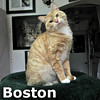 Boston was adopted from the Cat House and Adoption Center on Saturday, May 4, 2013.<br /> <br /> Boston<br /> <br /> Boston Strong!<br /> <br /> Cute as he is expressive, Boston will steal your heart.  He seems to be comfortable waiting with us until you come in and allow him to look into your eyes and capture your soul.