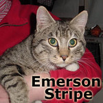 Emerson Stripe was adopted from Steamboat Animal Hospital on Tuesday, December 31, 2013.