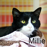 "Millie was adopted from the Cat House and Adoption Center on Saturday, October 26, 2013.<br /> <br /> Millie<br /> <br /> Thoroughly Modern Millie.<br /> <br /> With her sights set on a forever home, Millie knows exactly what she wants. Millie has already been a rescue and in one home and she wants to land a new home and avoid being a ""rescue"" cat again."