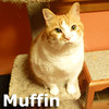 Muffin was adopted from the Cat House and Adoption Center on Friday, January 3, 2014<br /> <br /> Muffin<br /> <br /> Who needs cupcakes?<br /> <br /> When you have a Muffin as sweet as this one. Having no where else to turn, Muffin came to Feline Friends feeling a little lost and alone. Knowing stable care, she is comfortable that everything will be all right. With a dental treatment on board, she now has a winning smile and is ready to win you over.