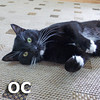 O. C. was adopted from the Cat House and Adoption Center on Saturday, November 9, 2013.<br /> <br /> OC<br /> <br /> Optimistic Cat!<br /> <br /> This special guy is so sweet and grateful for everything you give him. Hanging outside an office for an occasional handout brightened his days, although he quickly learned having regular meals and safe spot makes life brighter. OC is back with us after his new human