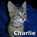 Charlie and Patty were adopted from the Cat House and Adoption Center on Sunday, December 22, 2013.<br /> <br /> Charlie<br /> <br /> Good grief!<br /> <br /> A boy with endless determination. He may not always get what he is after, but that does not stop this little guy from trying. Whether it's his favorite toy or to warm your heart, we are rooting for Charlie