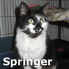 Springer was adopted from the Cat House and Adoption Center on Saturday, January 25, 2014.<br /> <br /> Springer<br /> <br /> Marked like a Springer Spaniel.<br /> <br /> All cat and too cute to describe or see in a snap-shot, this adorable girl has a personality all her own. A young and beautiful girl.