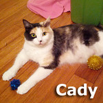 Cady was adopted from the Cat House and Adoption Center on Saturday, November 2, 2013.<br /> <br /> Cady<br /> <br /> A wonderful and loving girl.<br /> <br /> Cady is ready to throw in the towel to motherhood and be your one and only as your picture of perfection; beautiful and bright eyed.