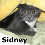 Sidney was adopted from the Cat House and Adoption Center on Saturday, December 7, 2013.<br /> <br /> Sidney<br /> <br /> Delightful. <br /> <br /> This young lady has delicate features and is very sweet and delightful. Sidney is a special little lady that snuggles under bedding and likes to pop up when addressed. Darling!