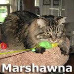 Marshawna was adopted from the Cat House and Adoption Center on Saturday, December 14, 2013.<br /> <br /> Marshawna<br /> <br /> Bold and beautiful!<br /> <br /> A large girl with a big purrsonality that would like to be front and center in your life. Marshawna is very sweet, loving with a bold character that is surrounded by her large presence.