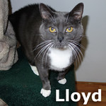 Lloyd was adopted from the Cat House and Adoption Center on Saturday, April 26, 2014.<br /> <br /> Lloyd<br /> <br /> Lovable!<br /> <br /> Handsome and playful. Lloyd's (and Taco's) owners have passed and he was immediately comfortable with our temporary facility. Lloyd is very social and interactive. Lloyd has FIV and just needs an indoor home.