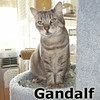 Gandalf was adopted from the Cat House and Adoption Center on Saturday, July 26, 2014.<br /> <br /> Gandalf<br /> <br /> Lord of the Rings.<br /> <br /> Gandalf the Grey is a wise and stately fellow that will blend into your home and be on your lap almost unnoticed. He surrounds you with his presence and looks into your soul for approval.