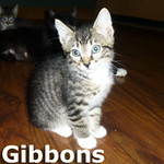 Gibbons and Beard were adopted from the Cat House and Adoption Center on Saturday, June 21, 2014. <br /> <br /> Gibbons<br /> <br /> Sharp dressed man.<br /> <br /> He lacks the gold watch and diamond ring, but Gibbons is stepping out in his fine tabby suit. He is lookin' sharp and lookin' for his forever home.