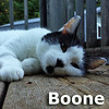 Boone was adopted from the Cat House and Adoption Center on Sunday, July 20, 2014.<br /> <br /> Boone.<br /> <br /> Daniel Boone.<br /> <br /> His days as a pioneer are over and he is looking to move into Boonville. He would like to spend his days relaxing and have pleasant conversations. Boone has a sweet personality and plenty of love to share.