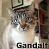 Gandalf was adopted from the Cat House and Adoption Center on Monday, March 23, 2015.<br /> <br /> Gandalf<br /> <br /> Unfinished tales.<br /> <br /> Gandalf has been through many travels and has tales to tell which hopefully bring him to a happy ending and a final journey to a new and forever home. This is a wise and warm fellow with a great spirit.