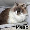 Meso was adopted at the Cat House and Adoption Center on Tuesday, February 3, 2015.<br /> <br /> Meso<br /> <br /> Me so cute!<br /> <br /> Debonaire dude seeking an indoor lifestyle and quiet home that will fit his needs. He is a strong, yet sensitive guy and wants to be pampered and loved and have a strong sense of security surrounding him.