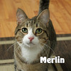 Merlin Hickson was adopted from the Cat House and Adoption Center on Sunday, March 29, 2015.<br /> <br /> Merlin Hickson<br /> <br /> No wizard, just wonderful.<br /> <br /> A legend in our minds because he is so outgoing and playful there is not time to worry about who he is, just how much fun he can have. With a life full of adventure ahead of him, he is anxious for a companion to take along with him.