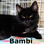 Bambi was adopted from the Cat House and Adoption Center on Saturday, January 25, 2015.<br /> <br /> Bambi<br /> <br /> Life in the woods has ended.<br /> <br /> From the forest to Feline Friends. Bambi has no problems being indoors and seems to understand how good life can be. She is so sweet and loving and grateful for attention. Bambi awaits the arrival of her forever person.