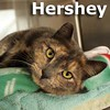 Hershey was adopted from the Cat House and Adoption Center on Saturday, April 18, 2015.<br /> <br /> Hershey<br /> <br /> Hershey kisses.<br /> <br /> This little lady has a subtleness surrounding her as she peacefully relaxes and settles into her new temporary townhouse. Hershey seems to be grateful to be taken in as she waits for the sweetest place on earth to land and forever home.