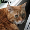 Marge was adopted from the Cat House and Adoption Center on Sunday, April 12, 2015.<br /> <br /> Marge<br /> <br /> Moralistic force.<br /> <br /> Marge has spent most of her life in a lumber mill where she was welcome until a Real Estate sale which left her unwelcome. She has taken the transition in stride and seems to be settling in. A large lady with a great and sweet nature.