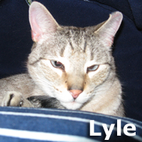 Lyle<br /> <br /> Lyle was adopted from the Cat House and Adoption Center on Saturday, February 21, 2015.<br /> <br /> Cause we Lovitt<br /> <br /> And love him so much. Behind the shy exterior is a marshmallow waiting to explode. Sweet and tender, he'd appreciate the same in return. His blue eyes have a great deal of sensitivity to the bright flash of the camera.